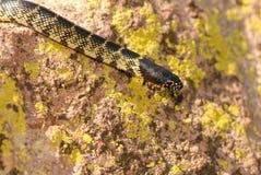 Desert Kingsnake Camouflage Stock Images