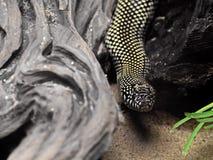 Desert Kingsnake or Lampropeltis Getula Splendida on Nature Back Royalty Free Stock Photography