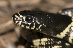 Desert kingsnake. (Lampropeltis getula splendida) portrait Stock Images
