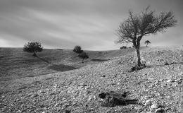 Desert land with trees and a dead goat animal Stock Photography