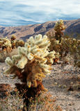 Desert landscape. Cholla cacti growing in Joshua Tree National Monument in California. Late afternoon on a warm spring day royalty free stock photos
