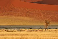 Desert landscape. With grasses, red sand dunes and an African Acacia tree, Sossusvlei, Namibia, southern Africa stock photo