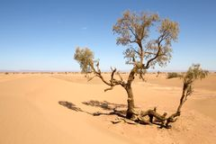 Desert landscape. Tree in the desert landscape at Erg Chigaga in the South of Morocco. Erg Chigaga near M'hamid is one of the Morocco's Saharan erg, large dunes Stock Photos