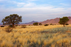 Desert landscape. With grasses and African Acacia trees in late afternoon light, Namibia, southern Africa royalty free stock photography