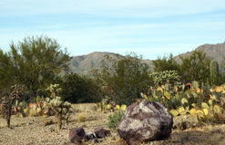 Desert landscape. Beautiful landscape of the Sonoran desert in winter Royalty Free Stock Photo