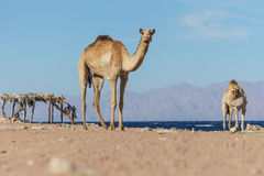 Desert landscape with camel next to Red Sea. Stock Photography