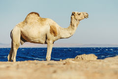 Desert landscape with camel next to Red Sea. Stock Images