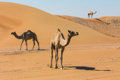 Desert landscape with camel Royalty Free Stock Photography