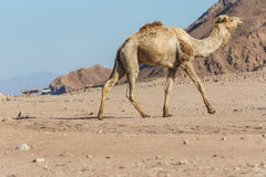 Desert landscape with camel at Sinai mountain Stock Photos