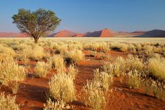 Desert landscape, Namibia. Desert landscape with grasses, red sand dunes and an African Acacia tree, Sossusvlei, Namibia, southern Africa stock images