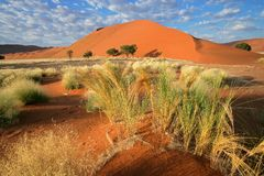 Desert landscape, Namibia. Desert landscape with grasses, red sand dunes and Acacia trees, Sossusvlei, Namibia royalty free stock image