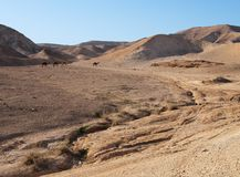 Desert landscape near the Dead Sea with herd of ca stock photography