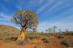 Quiver tree landscape Stock Photos