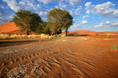 Desert landscape. Landscape with red sand dunes, desert grasses and African Acacia trees, Sossusvlei, Namibia royalty free stock photo