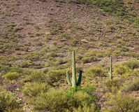 Desert Landscape with Saguaro Cactus Royalty Free Stock Images