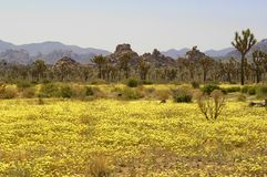 A desert landscape after spring rains have caused yellow flowers to bloom with beautiful color to a otherwise desolate background. royalty free stock images