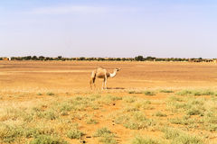 Desert landscape in Sudan. Camel and the desert landscape in Sudan on the way from Dongola to Khartoum Royalty Free Stock Image