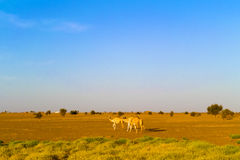 Desert landscape in Sudan. Camels and the desert landscape in Sudan on the way from Dongola to Khartoum Stock Image