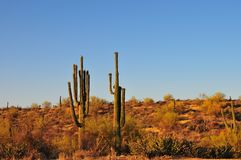 Desert Landscape Sunset with Saguaro Cactus Carnegiea gigantea. Arizona with blue sky Stock Photos