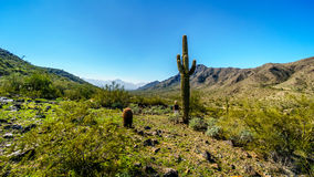 Desert Landscape with tall Saguaro and Barrel Cacti along the Bajada Hiking Trail in the mountains of South Mountain Park royalty free stock photo