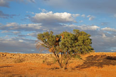 Desert landscape with thorn tree Stock Image