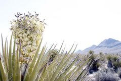 Desert Landscape Yucca Flower. Desert Landscape Yucca Bloom. Simple abstract landscape photography of a beautiful large cactus flower. Photographed in the Mojave stock image