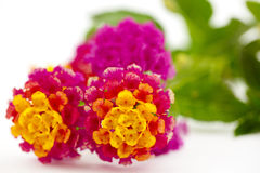 Desert lantana flowers in close up stock photos