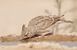 Desert Lark Royalty Free Stock Photography