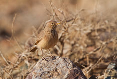 Desert Lark on the ground Stock Photography