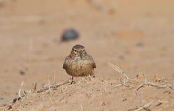 Desert Lark on the ground Stock Image