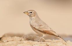 Desert Lark Stock Photo