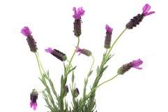 Desert Lavender Stock Images