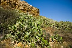 Cactus covered hillside, yellow flowers, dry ground, outdoors Royalty Free Stock Images