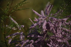 Desert Lilac Color Royalty Free Stock Photo