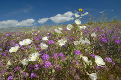 Desert lilies and white flowers blossoming with white puffy clouds in Anza-Borrego Desert State Park, near Anza Borrego Springs, C Royalty Free Stock Photos