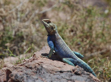 Desert Lizard Stock Images