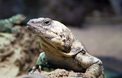 Desert lizard. Portrait of a desert lizard Royalty Free Stock Photos