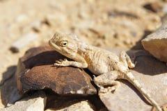 Desert lizard. Royalty Free Stock Image