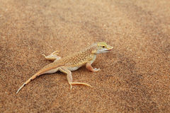 Desert lizard Royalty Free Stock Image