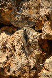 Desert Lizard. On a rock Royalty Free Stock Photo