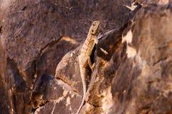 Desert lizard. In Algeria Sahara Stock Images