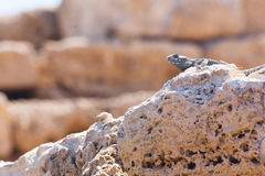 Desert lizard close up portrait on hot dry stones in archaeological site roman ruins in israel stock photo