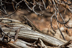 Desert Lizard. Lizard on a dead tree Stock Images