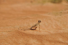 Desert Lizard looking towards the future Royalty Free Stock Images