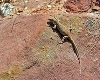 Desert lizard on red sandstone. Stock Photography