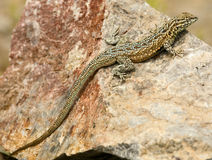 Desert Lizard on Rock. A side-blotched lizard rests on a rock in the hot midday sun in the Mojave Desert in California Royalty Free Stock Photos