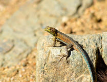 Desert Lizard. A single small lizard covered with splashes of red, yellow, orange, blue and brown sunning itself on a granite rock in the middle of the Mojave stock image
