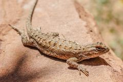 Desert lizard sitting in sun royalty free stock image