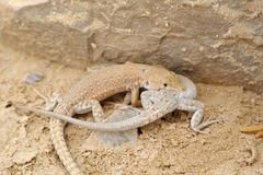 Desert lizards. Royalty Free Stock Image