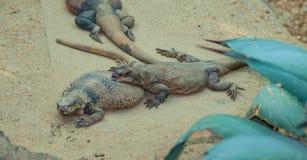 Desert Lizards. Including the common chuckwalla and desert iguana lizard stock photos